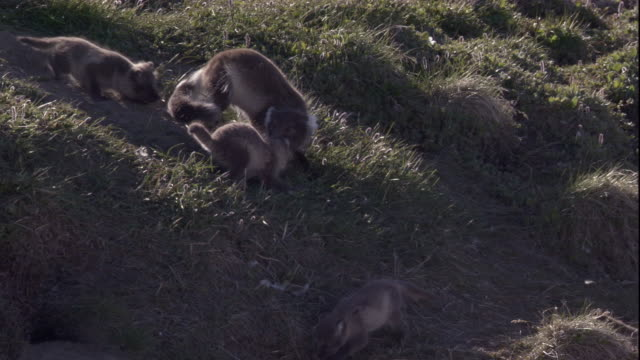 Arctic fox greets her cubs on the tundra of Arctic Canada. Available in HD.