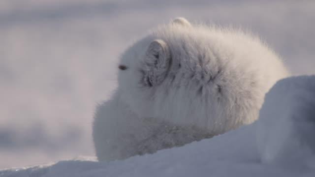 Arctic fox huddles down on snowy tundra, Canada