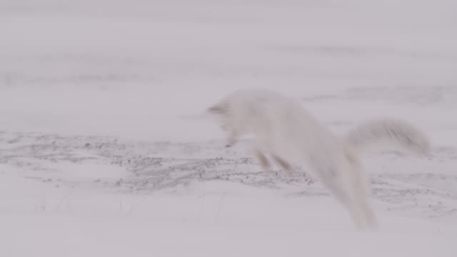 arctic fox hunts on windy tundra, canada - hunting stock videos & royalty-free footage