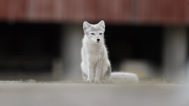 arctic fox (vulpes lagopus) in front of buildings - telephoto lens stock videos and b-roll footage