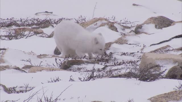 Arctic fox, (Vulpes lagopus) in winter coat on snow, Churchill, Manitoba, Canada