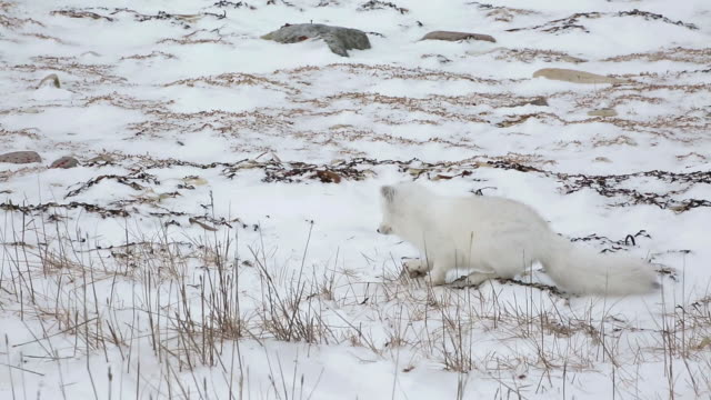 vídeos de stock, filmes e b-roll de arctic fox jumping into the ground in churchill, canada - north america