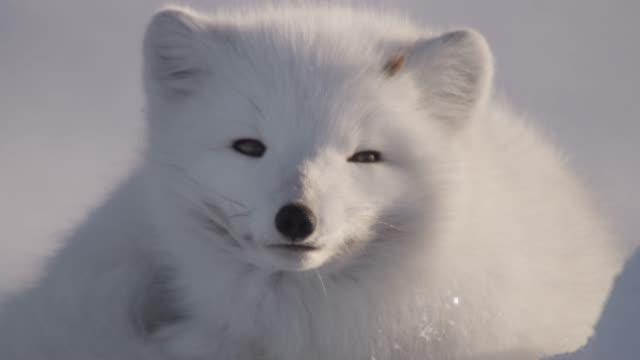 Arctic fox looks around on snowy tundra, Canada