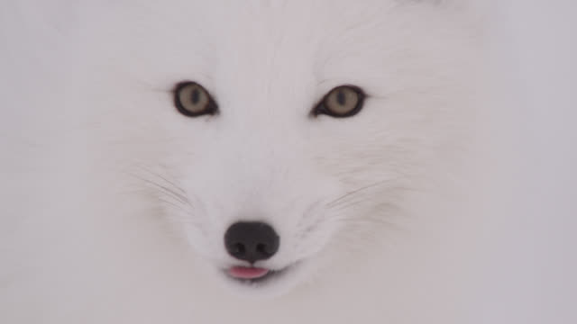 vídeos de stock, filmes e b-roll de arctic fox looks around on tundra, canada - olho de animal