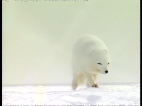 MS Arctic fox moving through snow, to camera, Arctic circle