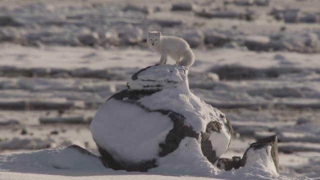 Arctic fox on rock on snowy tundra, Canada