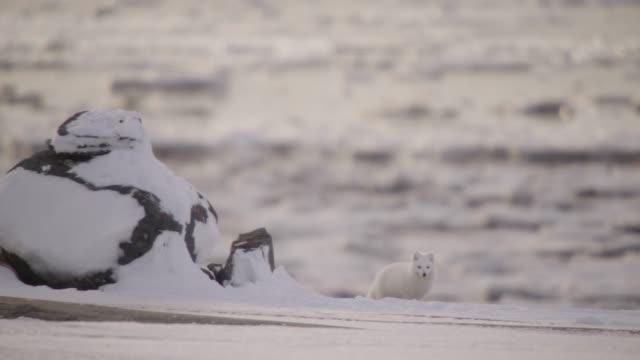Arctic fox on snowy tundra, Canada