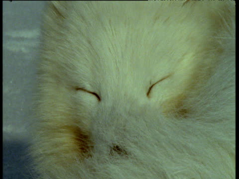 arctic fox opens and closes its eyes, svalbard - blinking stock videos & royalty-free footage