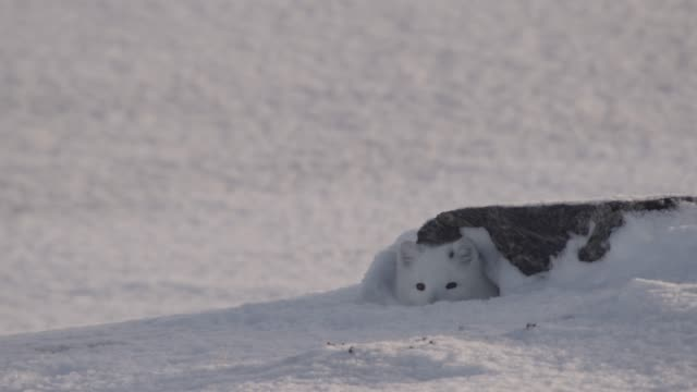 arctic fox peers from den on snowy tundra, canada - animal creation stock videos & royalty-free footage
