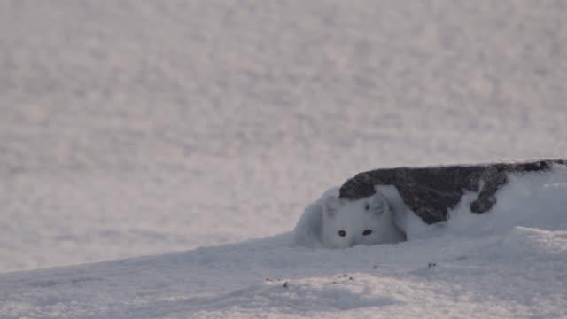 vídeos de stock e filmes b-roll de arctic fox peers from den on snowy tundra, canada - criação animal