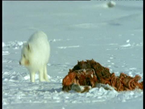 Arctic fox picks up chunk of meat then walks away, Svalbard