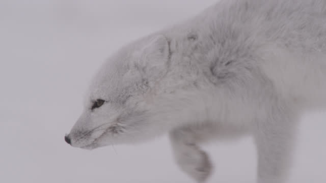 arctic fox prowls on windy tundra, canada - arctic stock videos & royalty-free footage