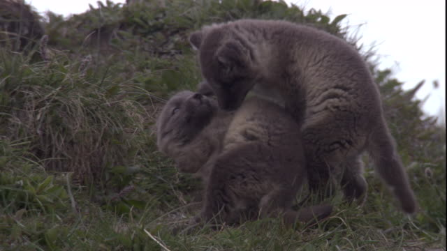 Arctic fox pups nip at each other as they play. Available in HD.
