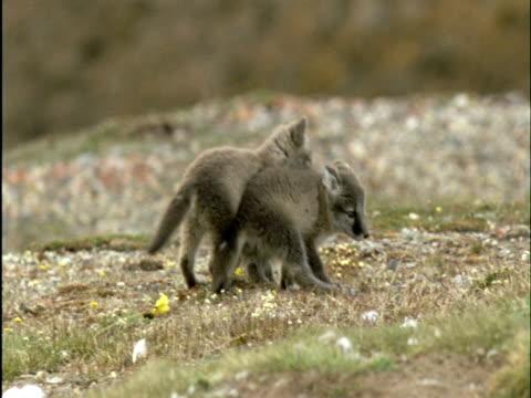 Arctic fox pups play fight on tundra, Banks Island, Canada