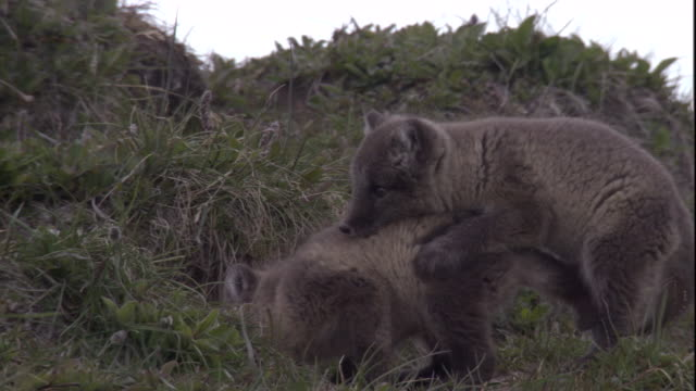 arctic fox pups play-fight on a grassy hillside. available in hd. - play fight stock videos and b-roll footage