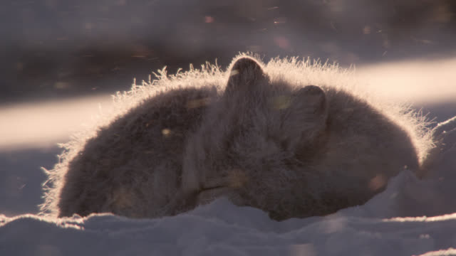 arctic fox rests at sunrise, canada - arctic stock videos & royalty-free footage