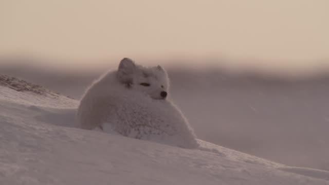 Arctic fox rests on snowy tundra, Canada
