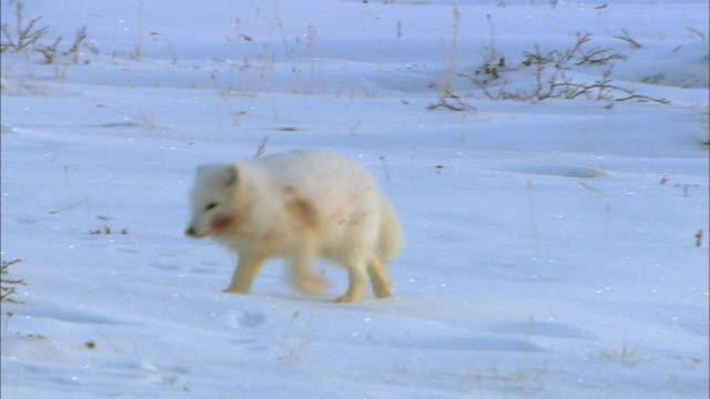 Arctic Fox running alone on snowfield