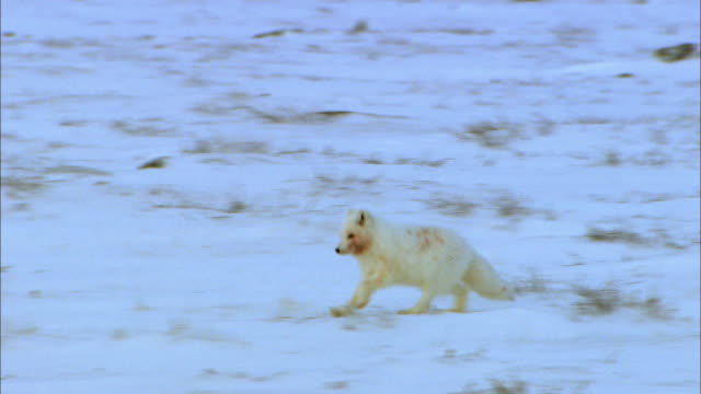 Arctic Fox running alone on snowfield