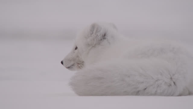arctic fox runs away on tundra, canada - arctic stock videos & royalty-free footage
