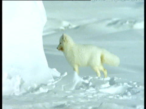 stockvideo's en b-roll-footage met arctic fox runs halts and looks around - winterjas