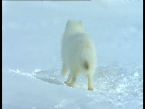 Arctic fox runs in snow towards carcass, Svalbard