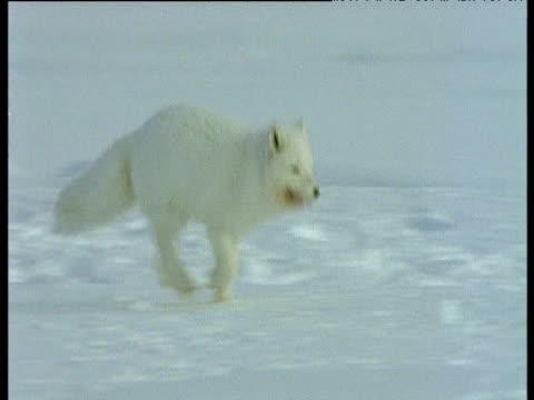 Arctic fox runs, meets another fox then runs to carcass, Svalbard