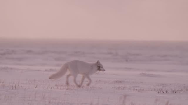 Arctic fox runs on snowy tundra, Canada