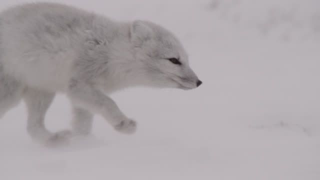 arctic fox runs on windy tundra, canada - arctic stock videos & royalty-free footage