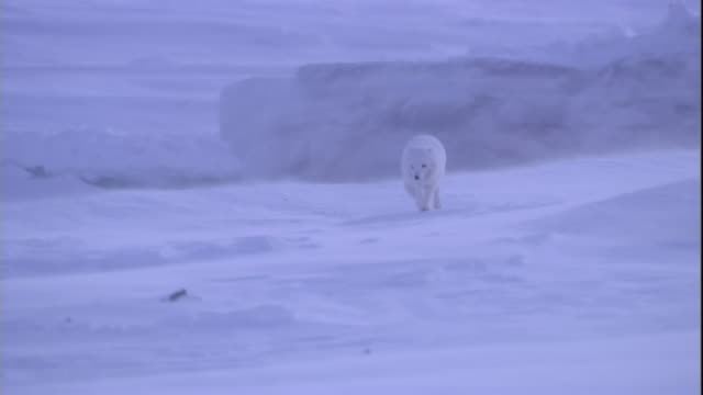 Arctic fox runs over ice during a storm in the Canadian Arctic. Available in HD.