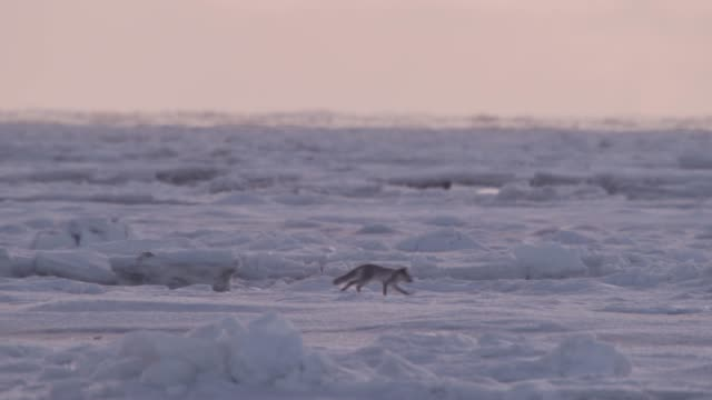 Arctic fox runs over pack ice, Canada