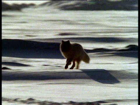 stockvideo's en b-roll-footage met arctic fox runs over snow towards camera - winterjas