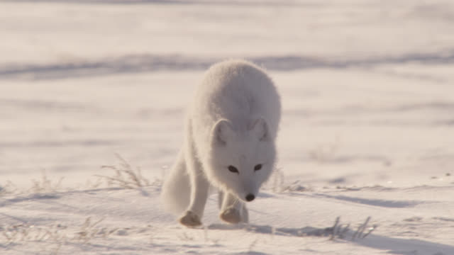 arctic fox runs over tundra at sunrise, canada - arctic stock videos & royalty-free footage
