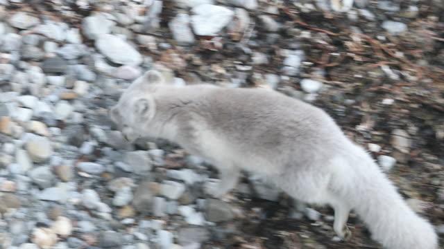 Arctic Fox scavenging around base of bird-cliffs in Svalbard