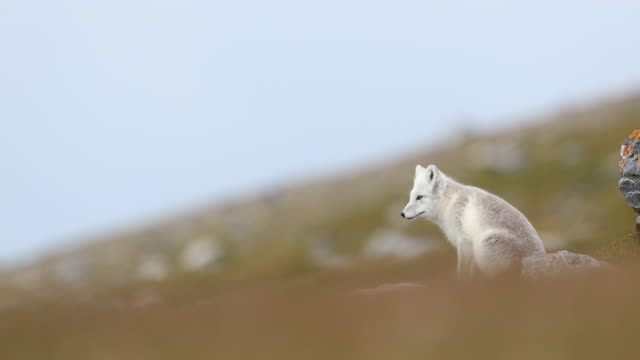 arctic fox scavenging around base of bird-cliffs in svalbard - scavenging stock videos & royalty-free footage