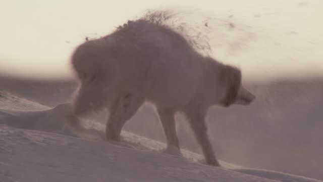 Arctic fox shakes snow from fur on tundra, Canada