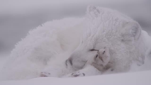 vídeos de stock, filmes e b-roll de arctic fox sleeps on tundra, canada - pata com garras