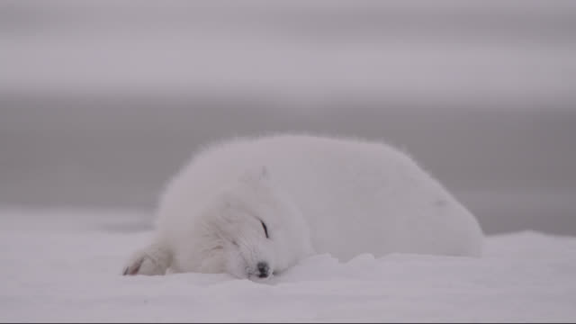 arctic fox snow bathes on tundra, canada - polarklima stock-videos und b-roll-filmmaterial