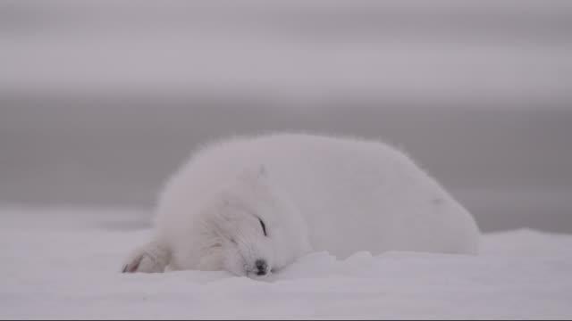 arctic fox snow bathes on tundra, canada - マニトバ州点の映像素材/bロール