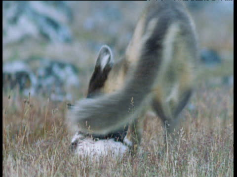 Arctic fox struggles to pick up and carry four dead seabirds, Svalbard