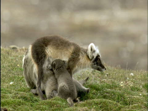 arctic fox suckles pups on tundra, banks island, canada - small group of animals stock videos & royalty-free footage