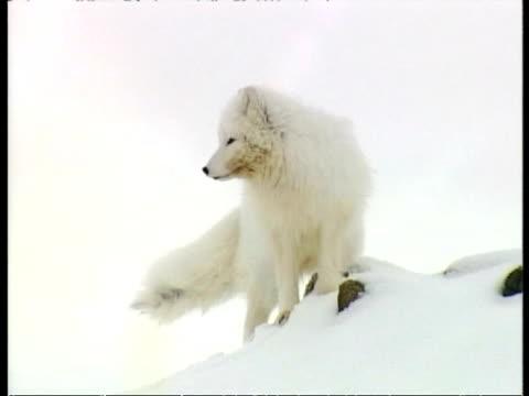 MS Arctic Fox, Vulpes lagopus, in snow, barking, Arctic Circle