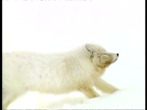 MCU Arctic Fox, Vulpes lagopus, lying in snow, stretching, walking out of shot, Arctic Circle