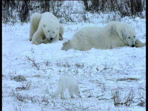 arctic fox walks around resting polar bears, polar bear chases it away, churchill - aggression点の映像素材/bロール