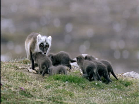 Arctic fox with pups outside den on tundra, Banks Island, Canada