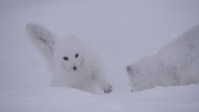 arctic foxes play with cub, canada - fighting stock videos & royalty-free footage