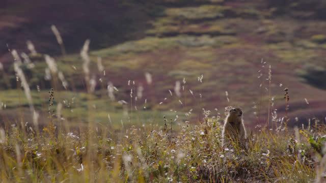 arctic ground squirrel, alaska. - wildlife stock videos & royalty-free footage
