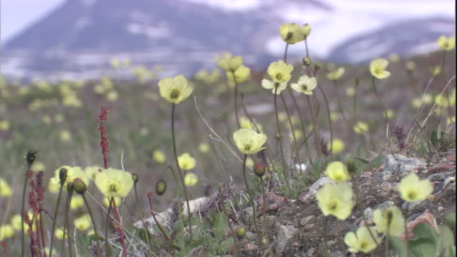 arctic poppies in breeze on tundra. available in hd. - arktis stock-videos und b-roll-filmmaterial