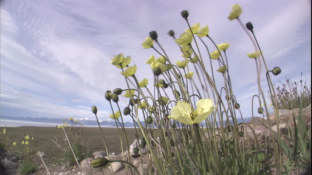 arctic poppies sway in breeze on tundra. available in hd. - arktis stock-videos und b-roll-filmmaterial