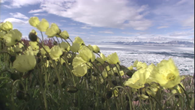 arctic poppies sway in the wind on tundra. available in hd. - arktis stock-videos und b-roll-filmmaterial